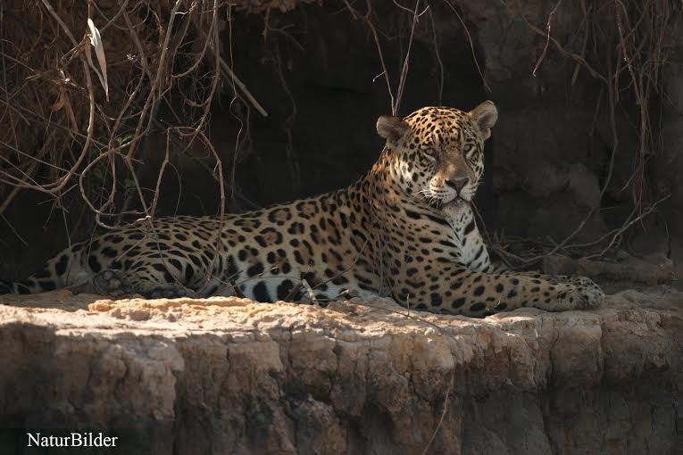 Photo by Pantanal Jaguar Safaris