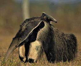 anteater (3).jpg