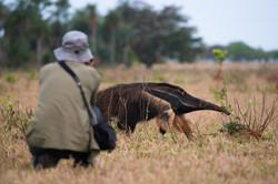 giant-anteater-myrmecophaga-tridactyla-1-octavio campos-salles
