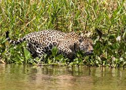 jaguar-attack-caiman-001