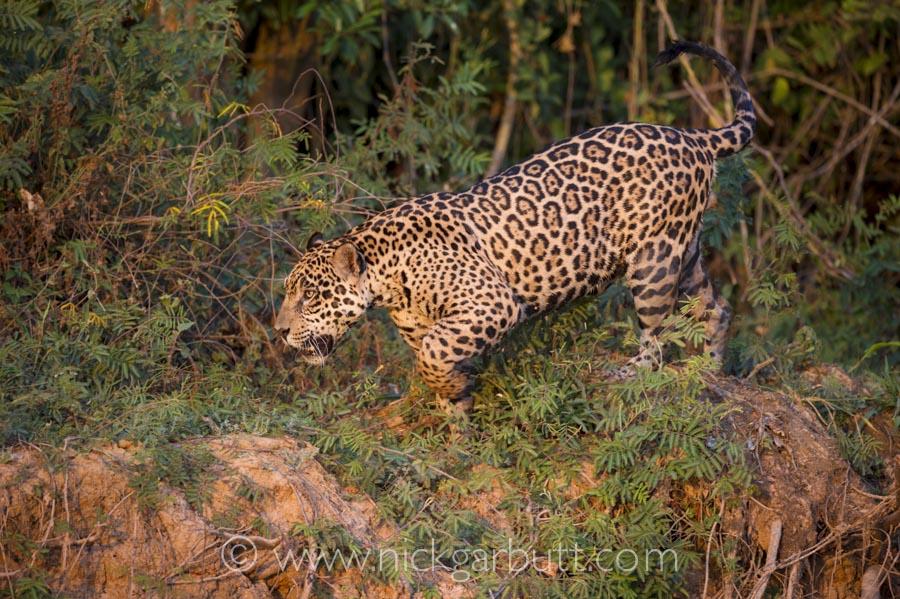 jaguar-018