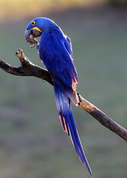 hyacinth-macaw-003