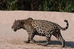 jaguar-003