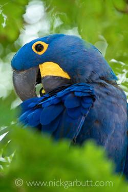 hyacinth-macaw-002