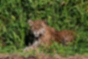 jaguar-024.jpg