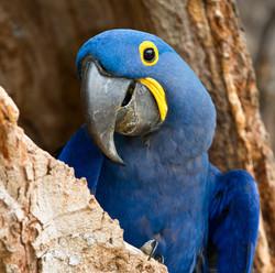 hyacinth-macaw-001