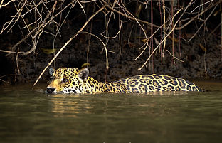 Jaguar in the water.jpg
