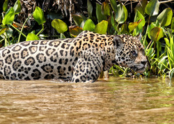 jaguar-attack-caiman-002