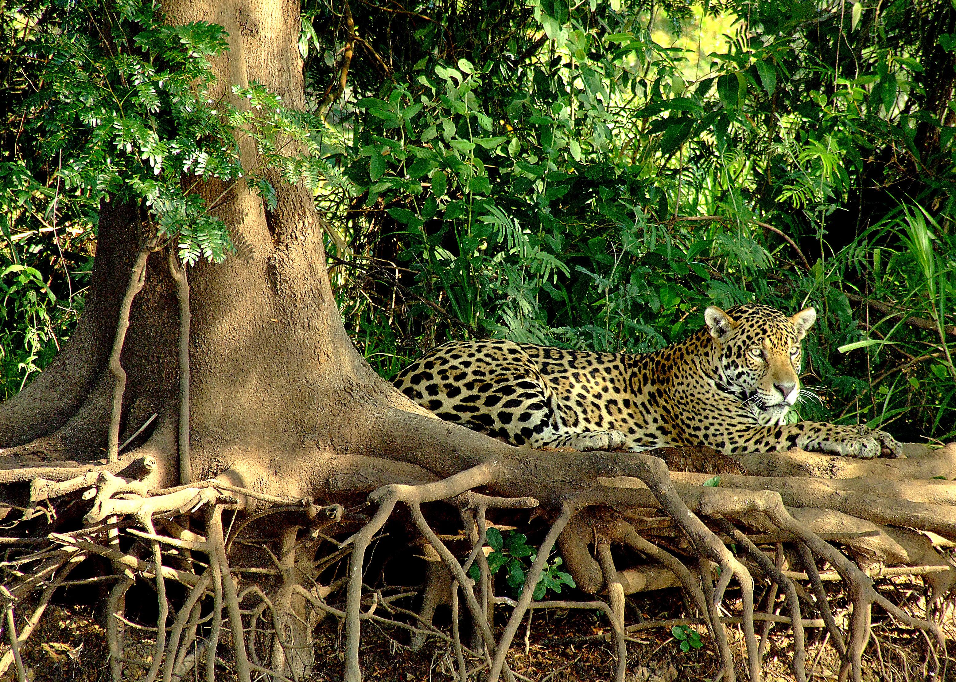 pantanal jaguar safaris wildlife birding jaguar tours brazil photo by mario friedlander. Black Bedroom Furniture Sets. Home Design Ideas
