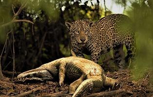 Jaguar+ Caiman signed (2).jpg
