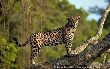 jaguarTree (3).jpg