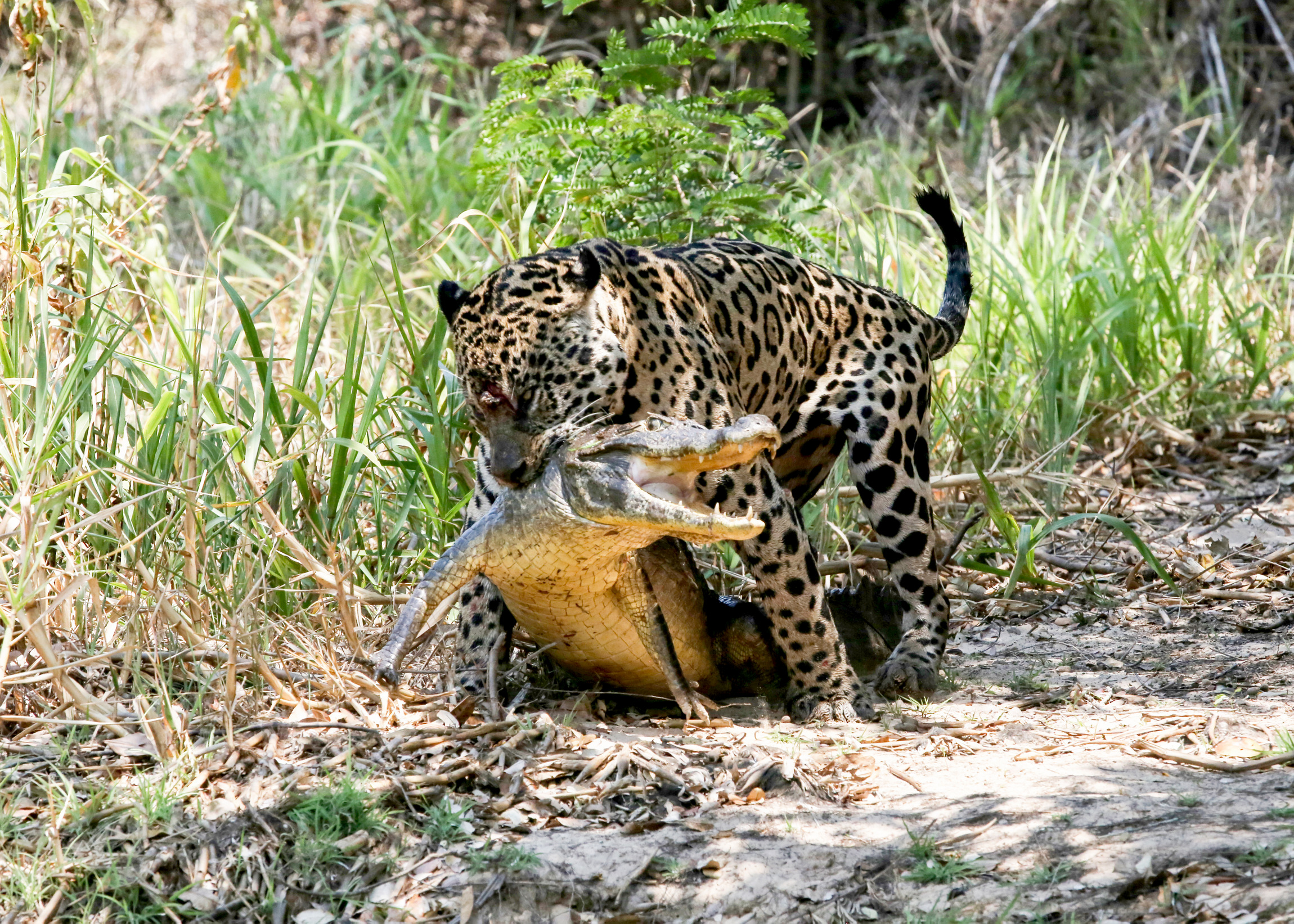 jaguar-attack-caiman-004