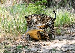jaguar-attack-caiman-004