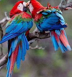 Eddie-Cheung-Red-and-green-Macaws.jpg