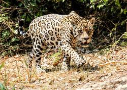 jaguar-019