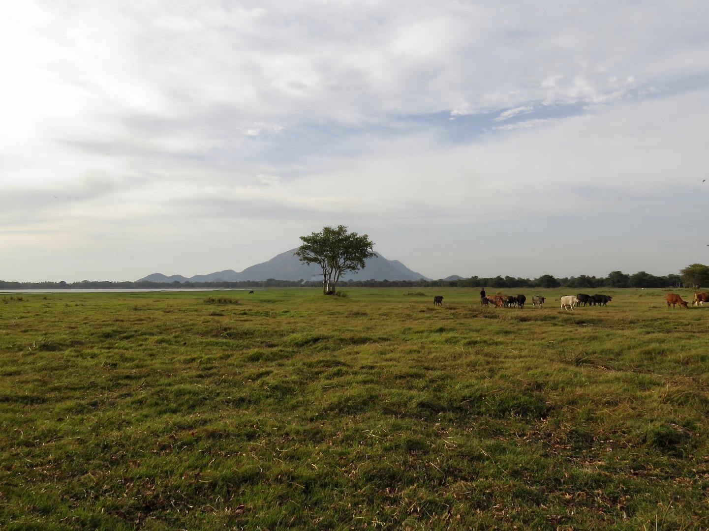 Farmer tending to his cattle. Galkadawala.