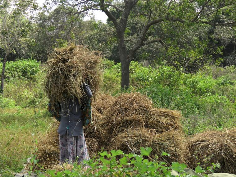 Harvesting Paddy.  Galkadawala village.