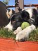 pasto real para perros