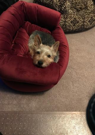 Sooner loves her new red bed!