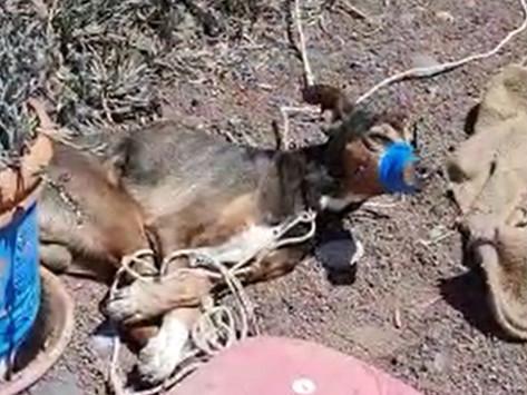 APDDA secunda la iniciativa del 'Pacto de Teguise' para penalizar el maltrato animal
