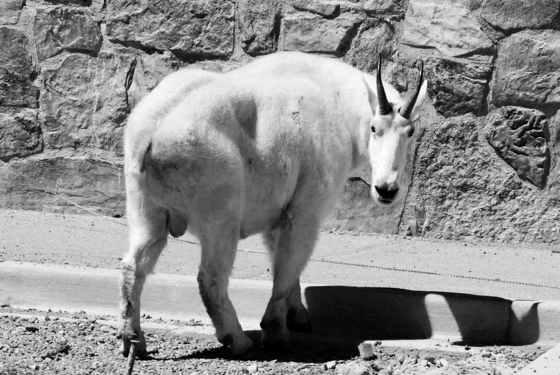 Mountain Goat - Glacier NP