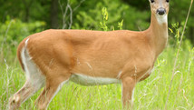Wolf Administration Reminds Motorists To Use Extreme Caution To Avoid Deer Collisions