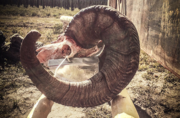 Issue 178: Booking a Dall's Sheep Hunt