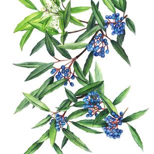 Viburnum propinquum Hemsl. var.mairei W. W