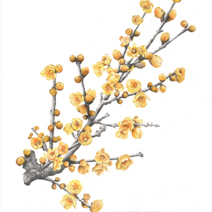 Chimonanthus praecox (Linn.) Link