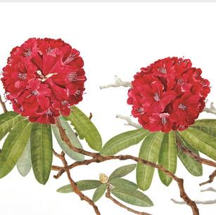 Rhododendron arborium