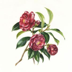 Camellia japonica 'Kurotsubaki'