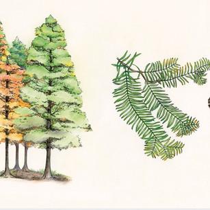 Metasequoia glyptostroboides Hu et Cheng