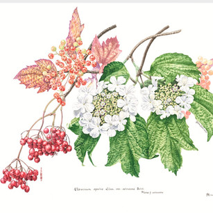 Viburnum opulus var calvescens (Rehd.) Hara