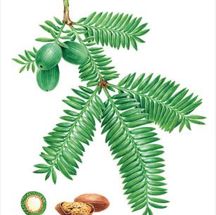 Torreya grandis 'Merrillii'