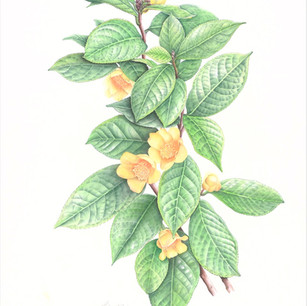 Camellia impressinervis Chang et S.Y. Liang