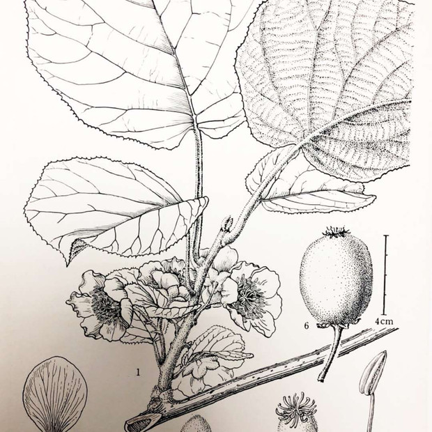 Actinidia chinensis Planch