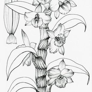 Dendrboium hybrid