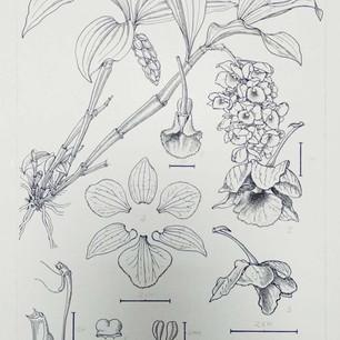 Dendrobium densiflorum Lindl. ex Wall.