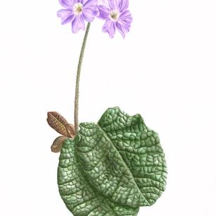 Subsp. ovalifolia