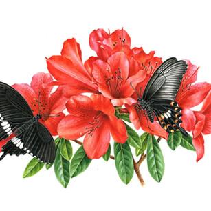 Rhododendron simsii & Papilio polytes