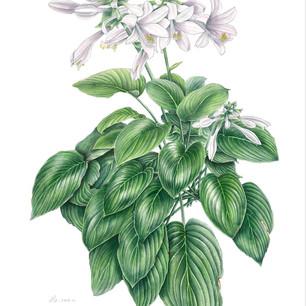 Hosta plantaginea (Lam.) Aschers