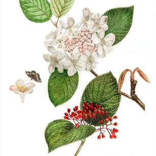 Viburnum sympodiale
