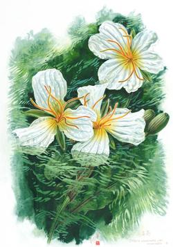 海菜花.png