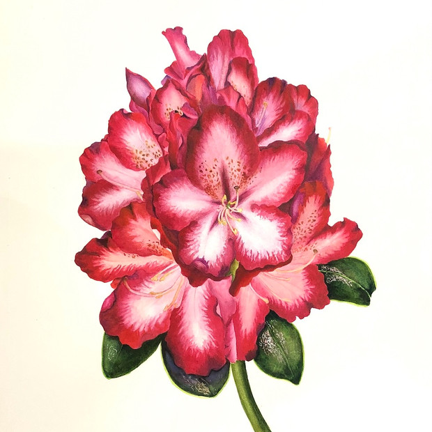 Rhododendron lapponicum (L.) Wahlenb