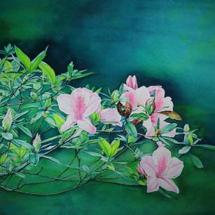 Rhododendron Kanehirai Wilson