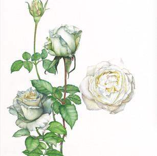 Rosa 'Lv yun'