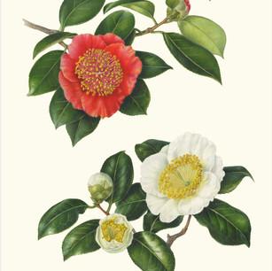 Camellia japonica Higo 'Hinomaru & Ohtahaku'