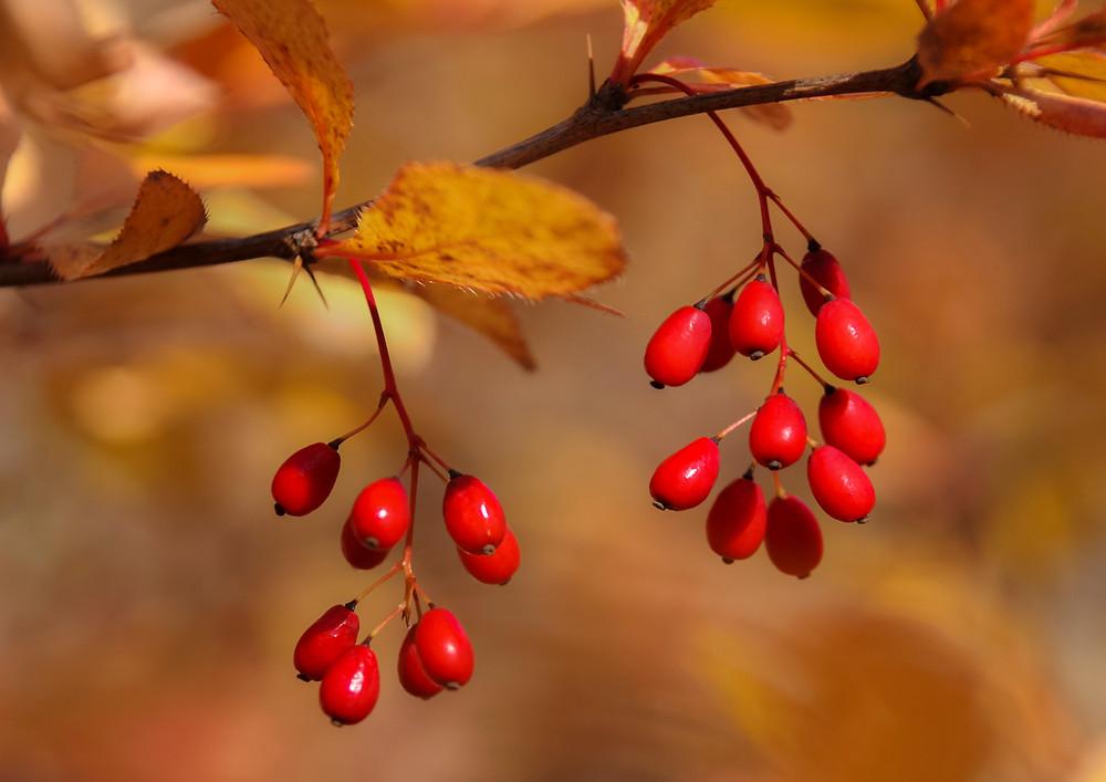 山 口 浩 秋深まる 小梨平 10月下旬 Canon 5D TAMRON28-300mm ヒロハヘビノボラズ、誰が付けたか面白い名前だ。春、可憐な花を咲かせた後、秋は真っ赤な実が美しい。