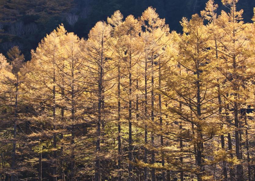 201028-1030「秋の上高地」 ~カラマツ黄葉を撮る