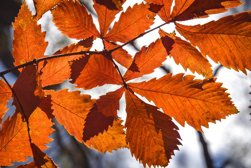 下 島 敏 男 紅葉のクヌギ 梓川河畔 10月下旬 Nikon D810 28-300mmF3.5-5.6 秋の上高地は黄葉のカラ松に染まりまさに圧巻というにふさわしいが、中に強く己を主張している大きな葉のクヌギは小さいながらも頑張っているように思える。